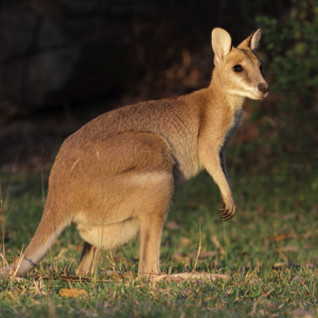Wallaby in Northern Australia