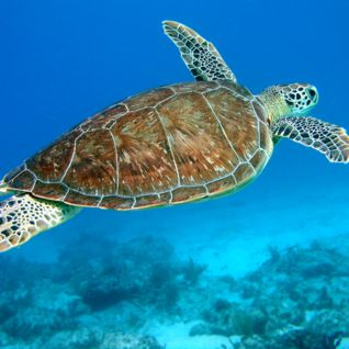 Turtle, Caribbean