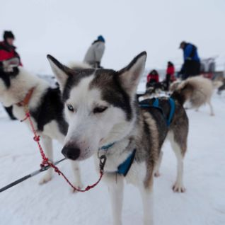 Huskies, Swedish Lapland