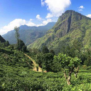 Tea Country Landscape, Sri Lanka
