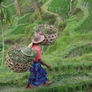 a local woman in Bali farming rice