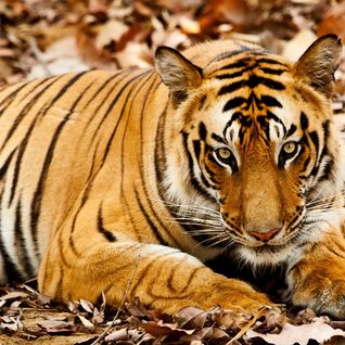 Central India tiger