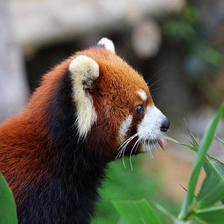red panda in Bhutan Asia
