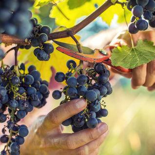grape cutting