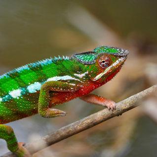 Chamelon, Madagascar