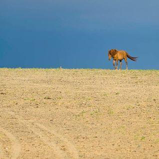 Gobi Desert horse