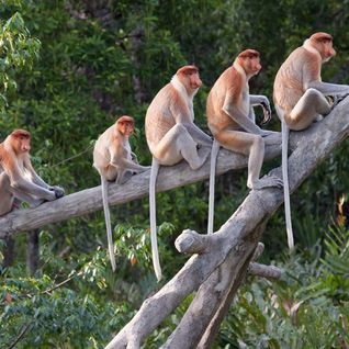 Proboscis monkeys in tree
