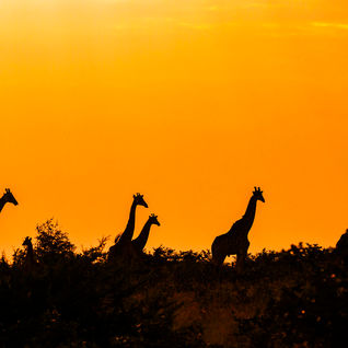 zimbabe giraffes sunset safari