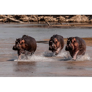 luangwa hippos zambia wildlife