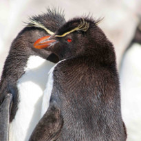 Red Eye Penguin