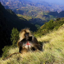 Gelada Baboon in the Siemen Mountains