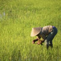 Rice farming, Laos
