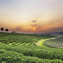 Sunset over tea plantations, Thailand