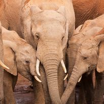Eastern Cape elephants
