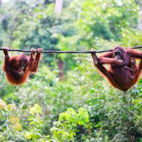 Orangutans swinging