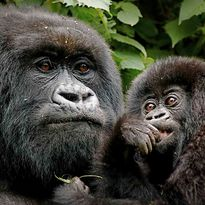 Uganda gorilla and baby