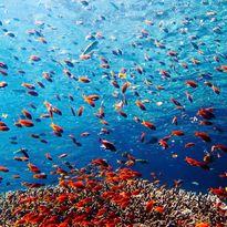 Menjangan coral, Bali