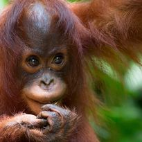 Small orangutan in Borneo