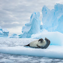 A seal lying on an iceberg