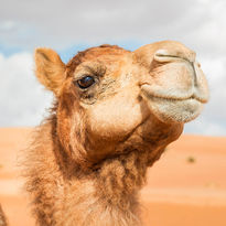 Oman camel