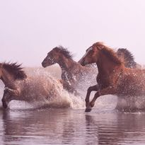 horses running through a river