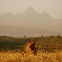 Borana lions at Mt Kenya