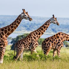 giraffes by river