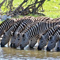 zabras drinking in etosha park
