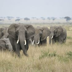 Elephants in the Serengeti