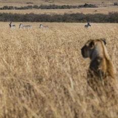 tanzania lion