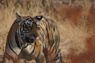 lion_india