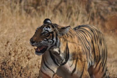 indian_lion