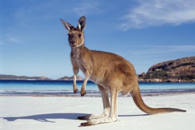 Kangaroo on the beach