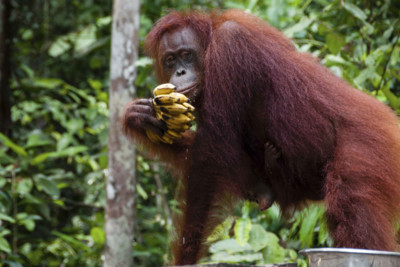 orangutan eating a banana in Indonesia