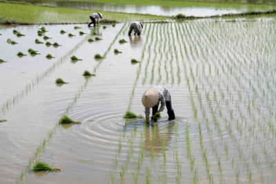 paddyfield workers in the river
