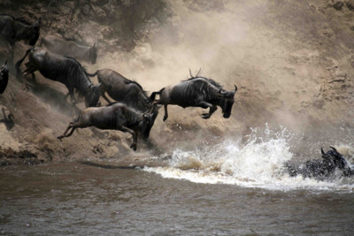 Wildebeest crossing a river in Kenya