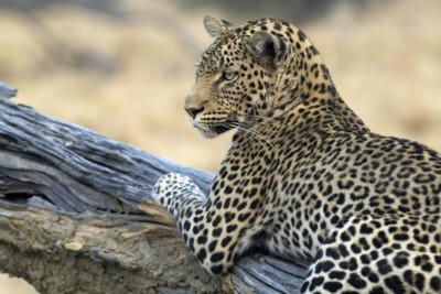 zimbabwe_leopard