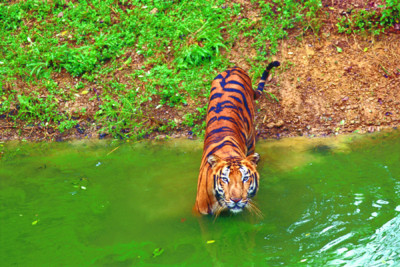 Ranthombore_National_Park_tigers_india
