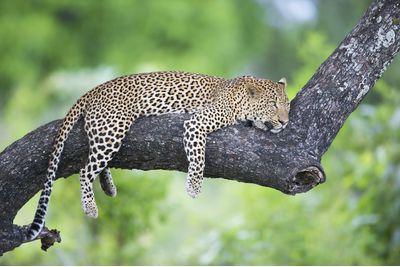 A leopard in Zambia, Africa
