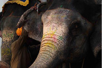 Elephant at Dera Amer Camp. Jaipur, India
