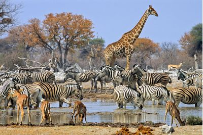Zebras and Giraffes at a watering hole