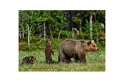 canadian bears