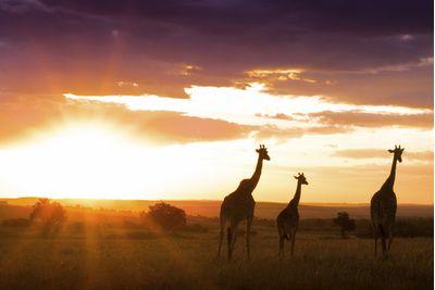 giraffes in Kenya's masai mara