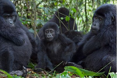 family of gorillas