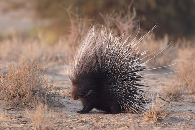 porcupine in africa