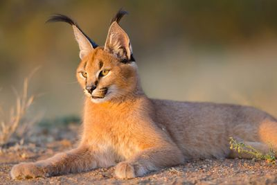 a caracal resting