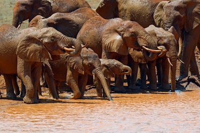 a family of elephants bathing