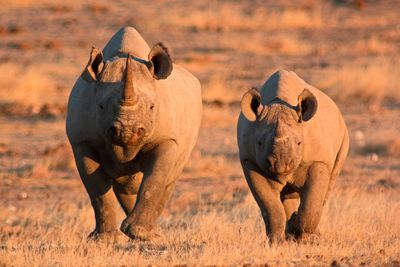 two black rhinos