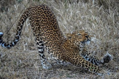 leopard stretching