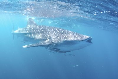 ningaloo whale shark swimming
